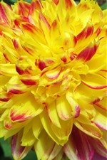 Preview iPhone wallpaper Yellow dahlia close-up, petals