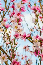 Preview iPhone wallpaper Beautiful pink peach flowers bloom, twigs, spring