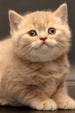 Preview iPhone wallpaper British Shorthair, furry kitten, cute pet