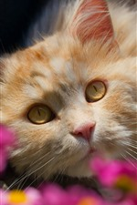 Preview iPhone wallpaper Cat look at you, face, yellow eyes, pink flowers