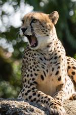 Chita, bocejos, pedra, vida selvagem