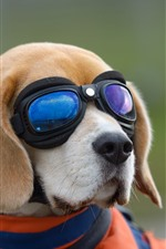 Preview iPhone wallpaper Dog, glasses, funny animal