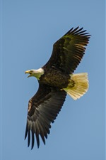 Preview iPhone wallpaper Eagle flight, wings, bird, sky