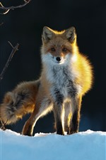 Preview iPhone wallpaper Fox, snow, trees, winter