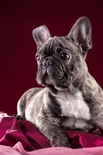 Preview iPhone wallpaper French bulldog, red background