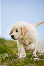 Preview iPhone wallpaper Golden Retriever, puppy, walk, grass