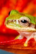 Sapo verde, pétala vermelha
