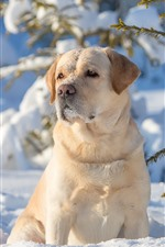 Preview iPhone wallpaper Labrador Retriever, dog, snow, winter, twigs, sunshine