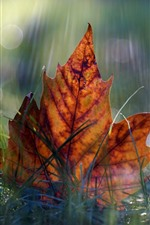 Preview iPhone wallpaper One maple leaf, grass, autumn