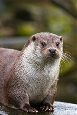 Preview iPhone wallpaper Otter, wildlife, stump