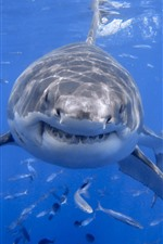 Preview iPhone wallpaper Shark front view, head, teeth, sea, fish, underwater