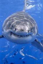 Вид спереди акулы, голова, зубы, море, рыба, под водой