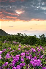Preview iPhone wallpaper Shenandoah National Park, pink flowers, mountains, rhododendron