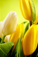 Some yellow tulips, green leaves