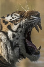 Preview iPhone wallpaper Tiger, yawn, teeth