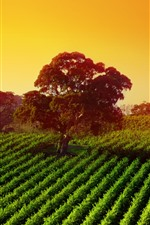 Preview iPhone wallpaper Australia, trees, dawn, field, valley, sunshine