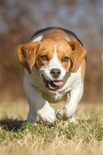 Preview iPhone wallpaper Beagle, dog, run, grass