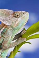 Preview iPhone wallpaper Chameleon, lizard, reptile, green plants, blue background