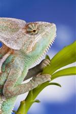 Camaleão, lagarto, réptil, plantas verdes, fundo azul