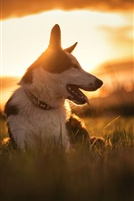 Preview iPhone wallpaper Dog, grass, sunset, front view