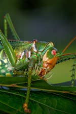 Preview iPhone wallpaper Insect macro photography, grasshopper, green leaves