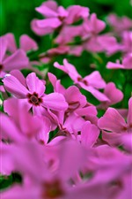 Preview iPhone wallpaper Many pink flowers, petals