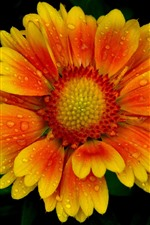 Preview iPhone wallpaper One flower close-up, yellow orange petals, water droplets