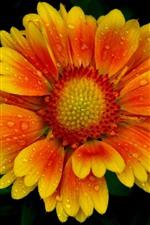 Um, close-up flor, pétalas laranja amarelas, gotas de água