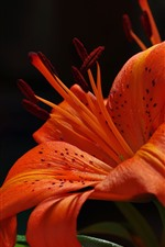 Preview iPhone wallpaper Orange lily, petals, flower, black background