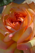 Preview iPhone wallpaper Orange rose close-up, petals, sunlight