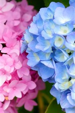 Preview iPhone wallpaper Pink and blue hydrangea flowers, inflorescence