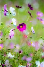 Pink and white kosmeya flowers, spring