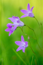 Flores de sinos cor-de-rosa, gafanhoto, fundo verde