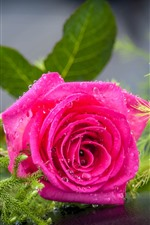 Preview iPhone wallpaper Pink rose, petals, water droplets, green plants