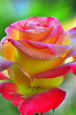 Preview iPhone wallpaper Pink yellow petals roses close-up, flower