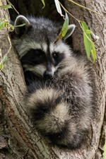 Preview iPhone wallpaper Raccoon, tree, hollow
