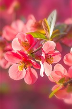 Preview iPhone wallpaper Red plum flowers flowering, twigs, leaves, spring