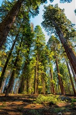 Preview iPhone wallpaper Sequoia, trees, National Park, USA