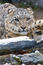 Preview iPhone wallpaper Snow leopard, paw, winter
