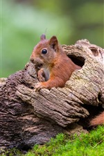Preview iPhone wallpaper Squirrel, tree hole, green grass