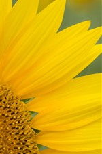 Preview iPhone wallpaper Sunflowers, yellow petals, flower macro photography