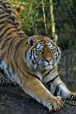 Preview iPhone wallpaper Tiger, claw, stretch, zoo