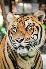 Preview iPhone wallpaper Tiger, face, eyes, water, zoo