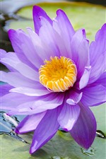 Preview iPhone wallpaper Water lily, purple petals, pond