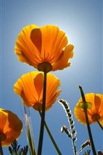 iPhone обои Желтые цветы, стебель, голубое небо, подсветка