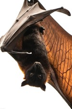 Bat, animal