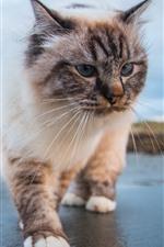 Gato andando, vista frontal, rosto, olhos