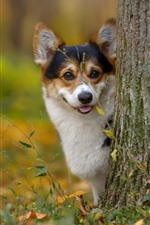 Preview iPhone wallpaper Corgi, dog, tree, look
