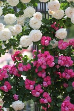 Preview iPhone wallpaper Many pink and white roses, fence