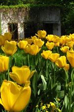 Muitas flores amarelas de tulipa, floração, casa
